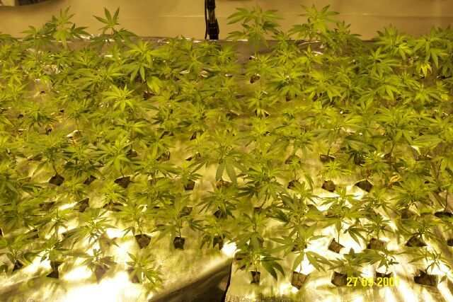How Do I Grow Single Cola Style Sea Of Green Ebb Amp Flow